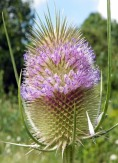 Common Teasel - AnemoneProjectors - CC BY-SA 2.0