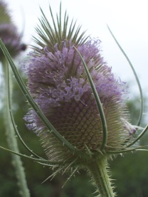 Common Teasel - Renardeau - CC BY-SA 2.0