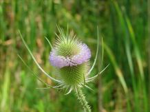 Common Teasel cc by-sa