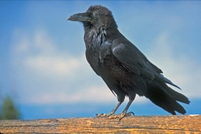 Common_Raven_at_Byrce_National_Park By Peter Wallack
