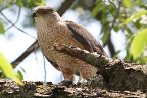 Cooper's_Hawk_with_kill By Sagamore66