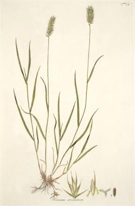 Crested Wheatgrass - A. Schmidt. 1801-1809. Icones et descriptiones Graminum austriacorum Vindobonae. Pub Domain