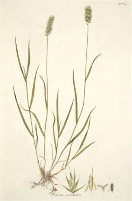 Crested Wheatgrass - A. Schmidt. 1801-1809. Icones et descriptiones Graminum austriacorum Vindobonae. Pub Domain