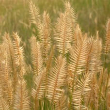 The flowering head or spikes are distinctive in bearing widely diverging spikelets separated by short internodes.