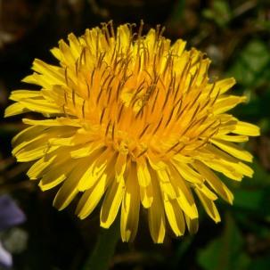 DandelionFlower - Greg Hume CC BY-SA 3.0