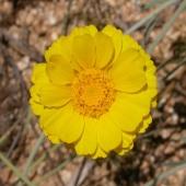 Desert Marigold - Curtis Clark CC BY-SA 2.5