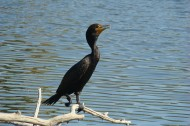 Double-crested_cormorant by Sheep81