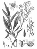 Dyers Woad - Best Drawing - Amédée Masclef - Atlas des plantes de France. 1891 -pub domain