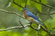 Eastern_Bluebird_-_Texas_by Francesco Veronesi