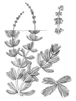 Eurasian Watermilfoil - IFAS Cent Aquatic Plants U Fla USGS Pub Domain
