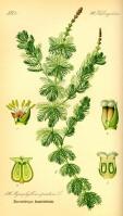 Eurasian or Spiked Watermilfoil -Kurt Streuber - Pub Domain Otto Wilhelm Thomé Flora von Deutschland, Österreich und der Schweiz 1885, Gera, Germany