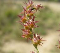 Field Sandbur - Macleay Grass Man CC BY 2.0