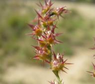 Field Sandbur - Macleay Grass Man CC BY 2.0