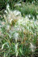 Foxtail Barley - André Karwath CC BY-SA 2.5