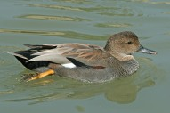 Gadwall by RWD--Dick Daniels