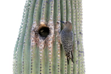 Gila_woodpecker_on_Saguaro by Gary L. Clark