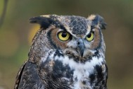 Great-horned_Owl_RWD_at_CRC1 by DickDaniels
