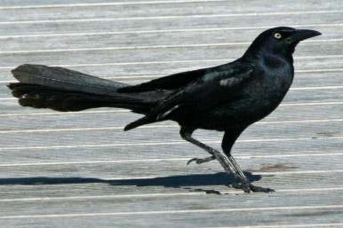 Great-tailed_Grackle_By Dick Daniels