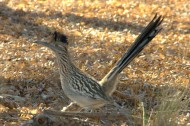 Greater Roadrunner by GR
