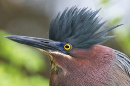 Green_Heron_by_Dan_Pancamo_1