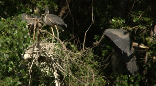 Gt Blue Heron Chicks by GR