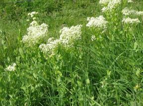 Hairy White-top Meneerke bloem CC BY-SA 3.0