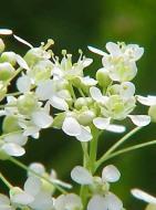 Hoary Cress Flowers - Kurt Stüber CC BY-SA 3.0