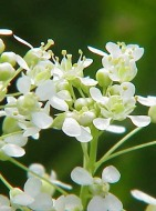 Hoary Cress Flowers - Kurt Stüber CC BY-SA 3.0