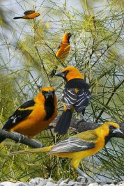 Hooded_Oriole_From_The_Crossley_ID_Guide_Eastern_Birds By Richard Crossley