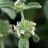 Horehound flowers - GR