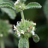Horehound flowers - GR
