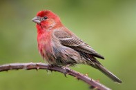 House_Finch_By nigel from vancouver, Canada