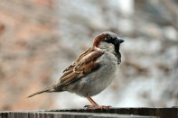 House_Sparrow_Male_(Passer_Domesticus) By Joe Ravi