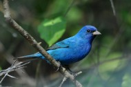 Indigo_Bunting,_male By Dawn Scranton from Cornwall, Ontario, Canada