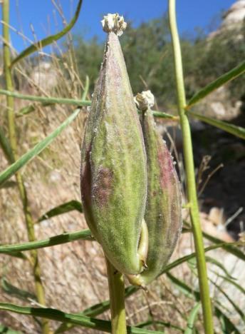 Inmortal - seed pod - Stan Shebs CC BY-SA 3.0