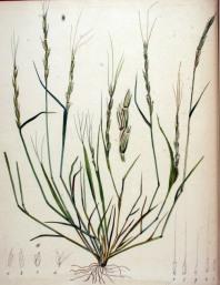 Jointed Goatgrass Aegilops_cylindrica_—_Flora_Batava_—_Volume_v20 - pub domain