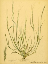 Jointed Goatgrass - Anoniem_-_Aegilops_cylindrica_