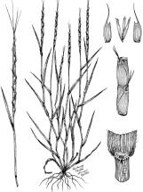 Jointed Goatgrass - Bellamy Parks Jansen