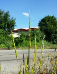 Jointed Goatgrass - Stefan.lefnaer roadside