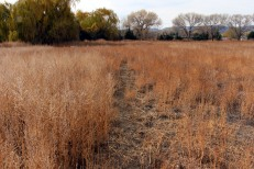 Kochia and Secondary Deer path