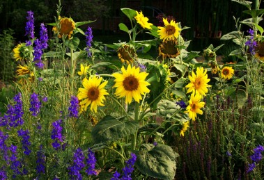 Larkspur and Sunflowers