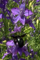 Larkspur with Carpenter Bee