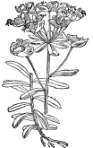 Leafy Spurge - Martin Cilenšek - Scan from Naše škodljive rastline (1892)