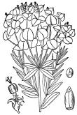 Leafy Spurge - USDA free