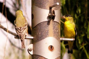 Lesser Goldfinch by GR (2)