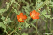 Littleleaf Globemallow