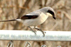 Loggerhead Shrike by GR