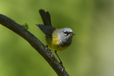 MacGillivray's_Warbler_-_Sisters_-_Oregon_By Francesco Veronesi from Italy