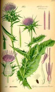 Milk Thistle - Otto Wilhelm Thomé Flora von Deutschland, Österreich und der Schweiz 1885, Gera, Germany - Pub Domain