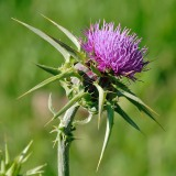 Milk_thistle_ By Flagstaffotos CC BY-NC